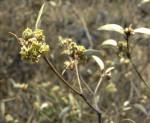 Croton pseudopulchellus