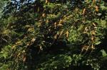 Croton sylvaticus