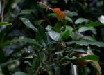 Argomuellera macrophylla