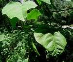 Neoboutonia macrocalyx