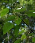Macaranga capensis