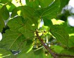 Macaranga mellifera