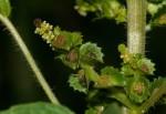 Acalypha crenata