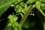 Acalypha fimbriata