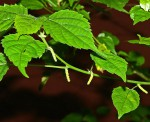 Acalypha ornata