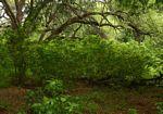 Acalypha pubiflora