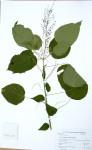 Acalypha racemosa