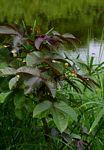 Jatropha gossypiifolia var. elegans