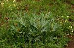Jatropha schlechteri subsp. setifera
