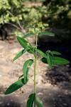 Euphorbia benthamii