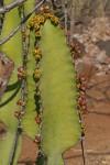 Euphorbia cooperi var. cooperi