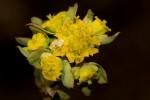 Euphorbia cyparissioides