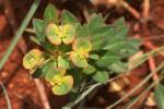 Euphorbia depauperata var. depauperata