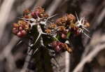Euphorbia griseola subsp. griseola