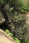Euphorbia griseola subsp. mashonica
