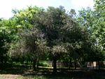 Euphorbia lividiflora