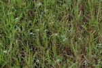 Euphorbia lupatensis