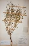 Euphorbia pfeilii