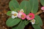 Euphorbia rubriflora