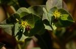 Euphorbia schimperiana var. pubescens