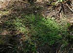 Euphorbia serpens