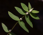 Euphorbia tettensis