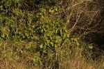Synadenium cameronii