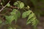 Lannea schweinfurthii var. tomentosa
