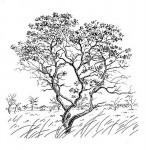Ozoroa reticulata