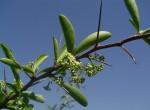 Gymnosporia buxifolia