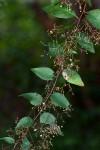Gymnosporia mossambicensis subsp. mossambicensis