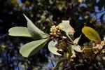 Gymnosporia senegalensis