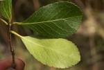 Elaeodendron schlechterianum