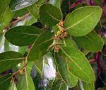 Mystroxylon aethiopicum subsp. schlechteri