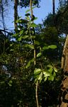 Hippocratea africana var. richardiana