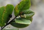 Cassinopsis tinifolia