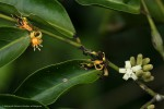 Rhaphiostylis beninensis