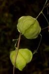 Cardiospermum halicacabum var. halicacabum