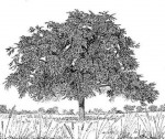 Ziziphus abyssinica
