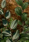 Ziziphus mauritiana