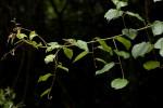 Gouania longispicata