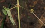 Ampelocissus africana var. africana