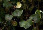 Rhoicissus tomentosa