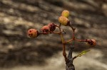 Cissus cornifolia