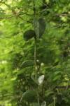 Cissus rotundifolia