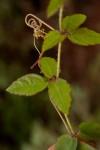 Cyphostemma subciliatum
