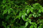 Cayratia gracilis