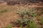 Corchorus kirkii