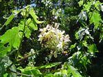 Sparrmannia ricinocarpa