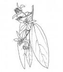 Grewia bicolor